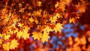 yellow-orange-maple