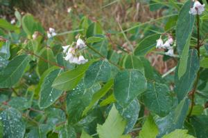 spreading-dogbane-apocynum-androsaemifolium-01